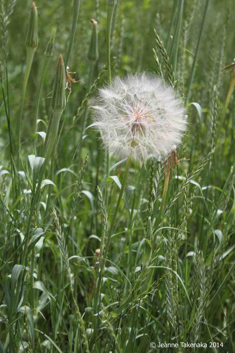 7-4 Dandelion