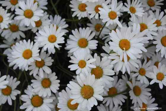 Daisies in bloom FB copy