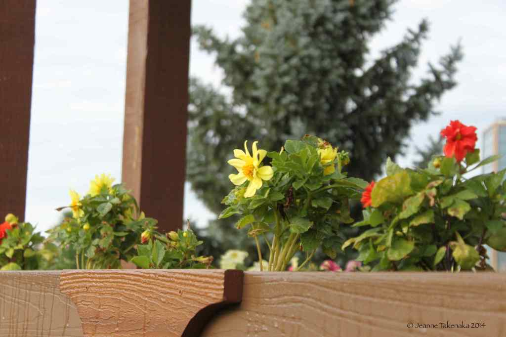 Summer zinnias