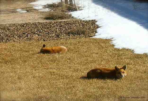 Red Foxes 1