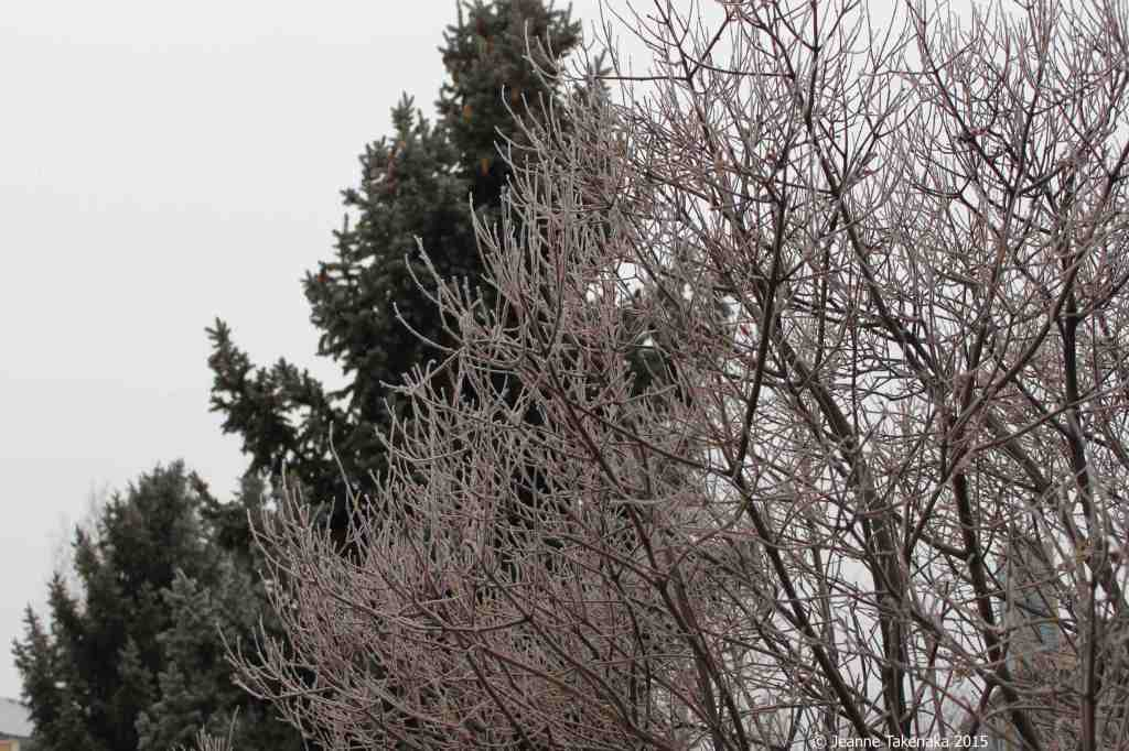 Frosted branches and pine