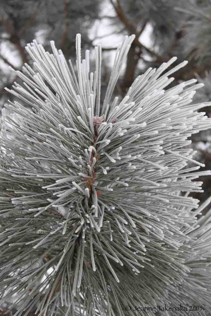 Hoarfrost on pine