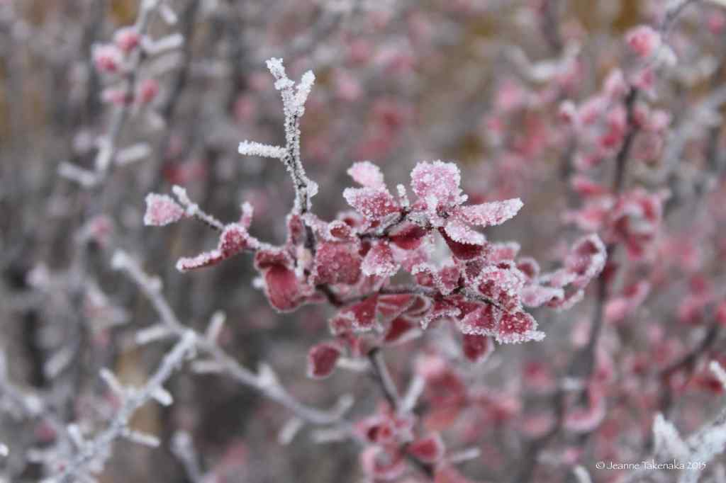 Iced red leaves