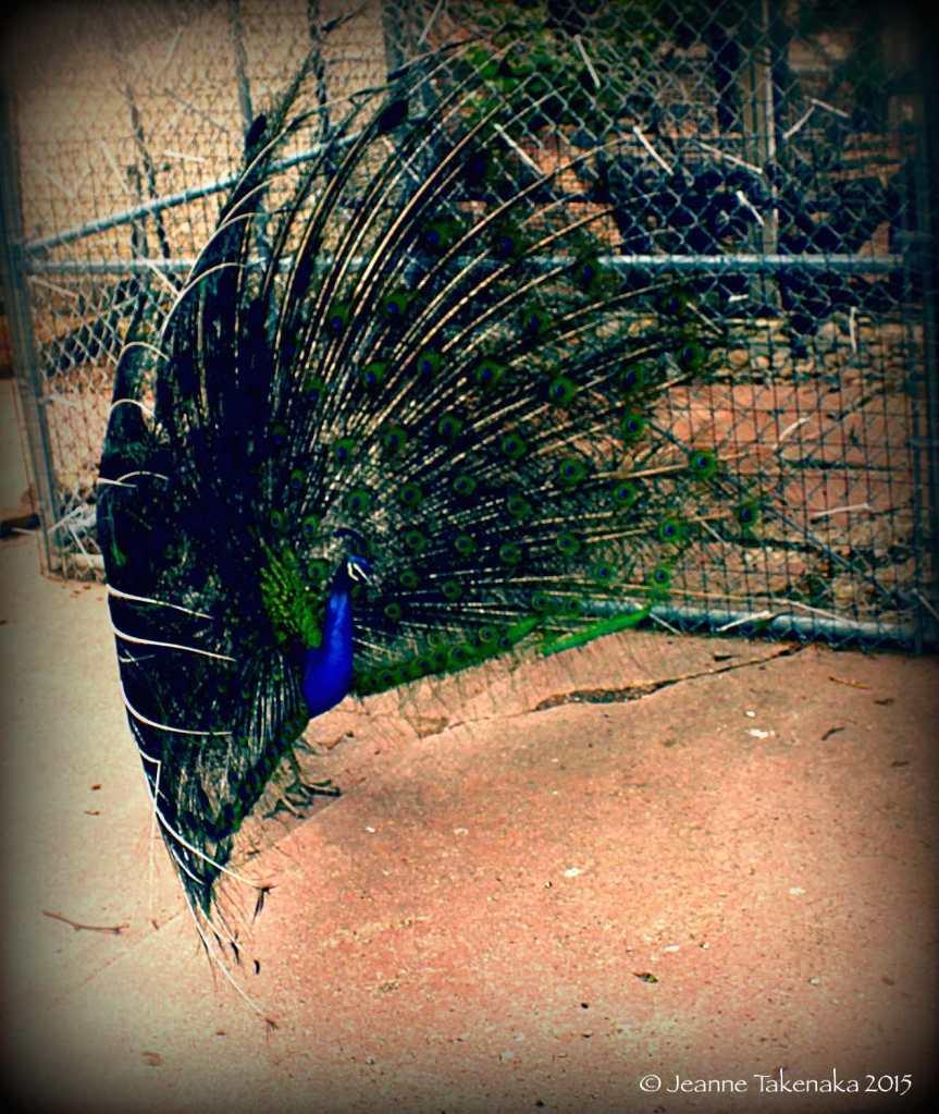 peacok showing colors copy