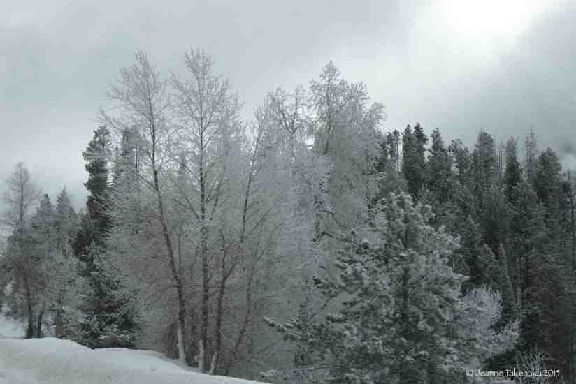 White laden trees