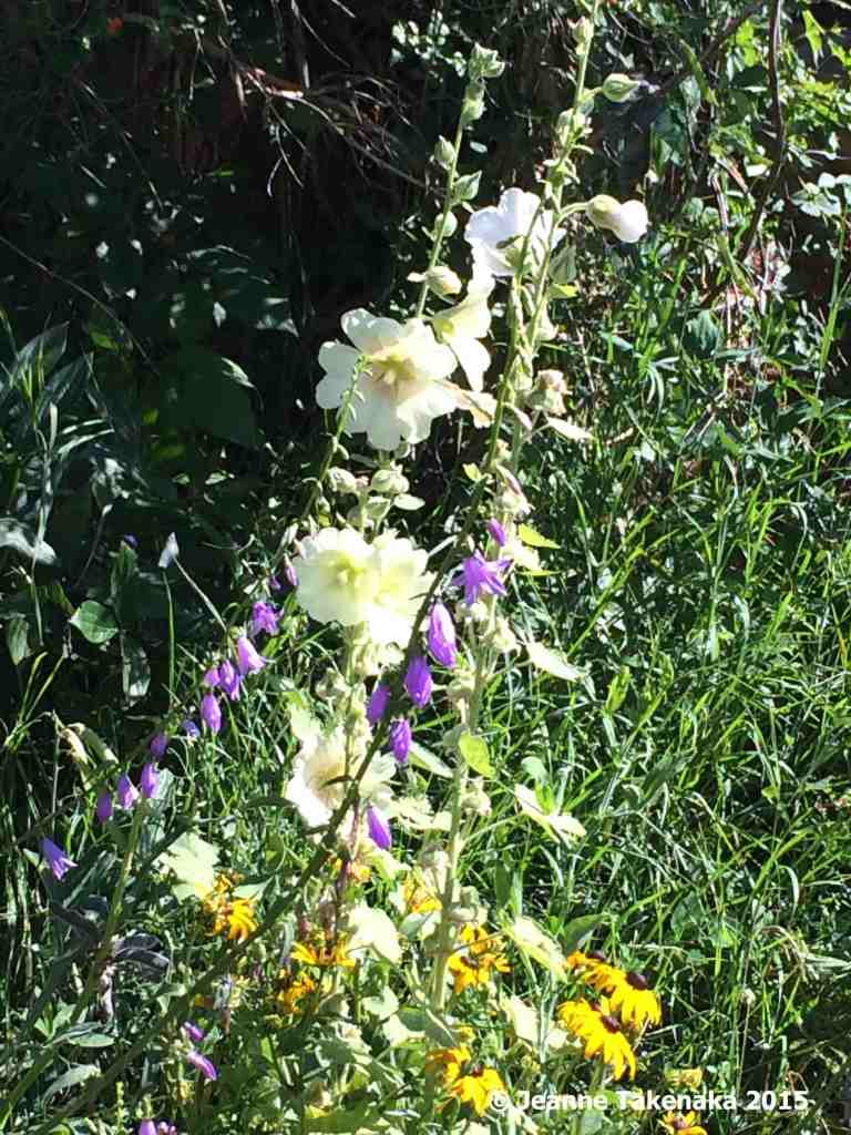 Hollyhocks blooming