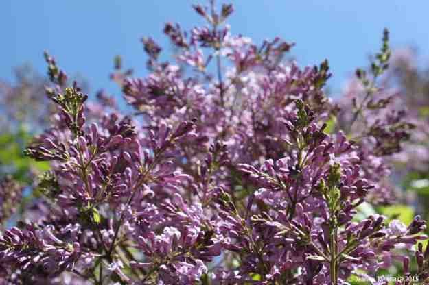 Lilacs almost blooming