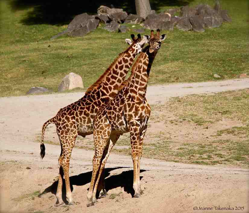 Two giraffes standing close together
