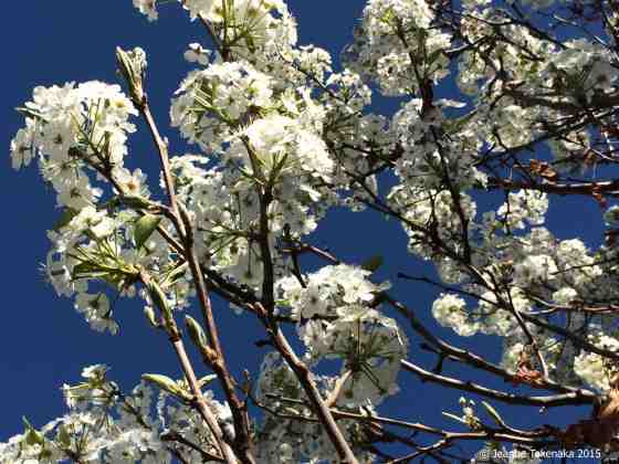 White blossoms, blue sky