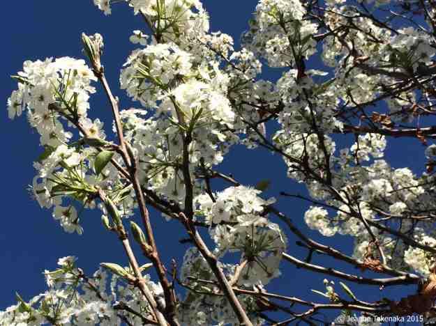 White blossoms, blue sky