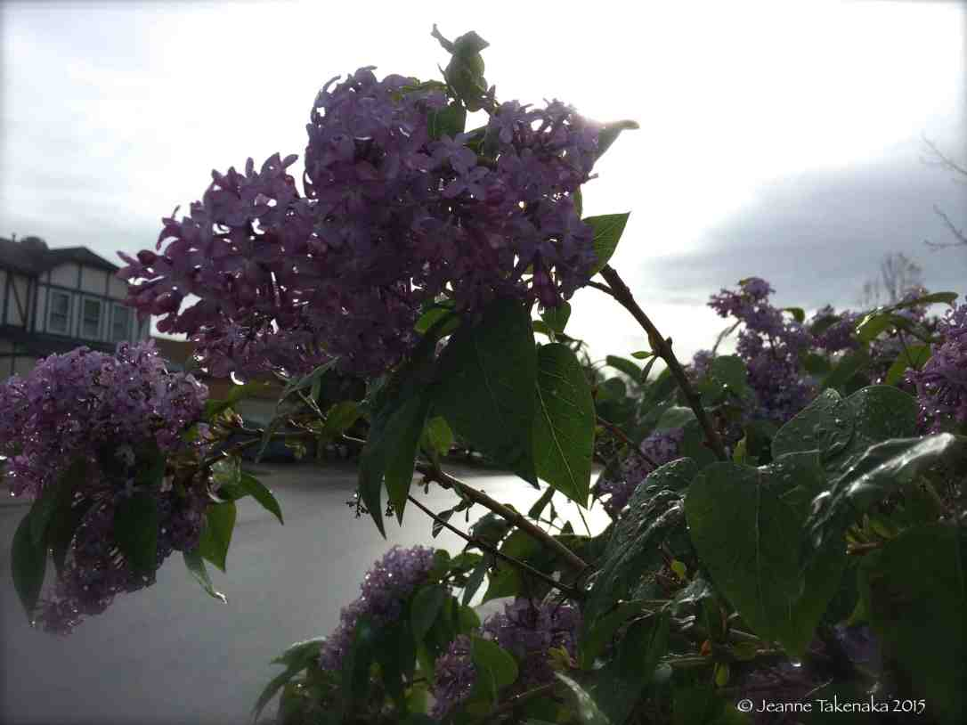 Dewy lilacs