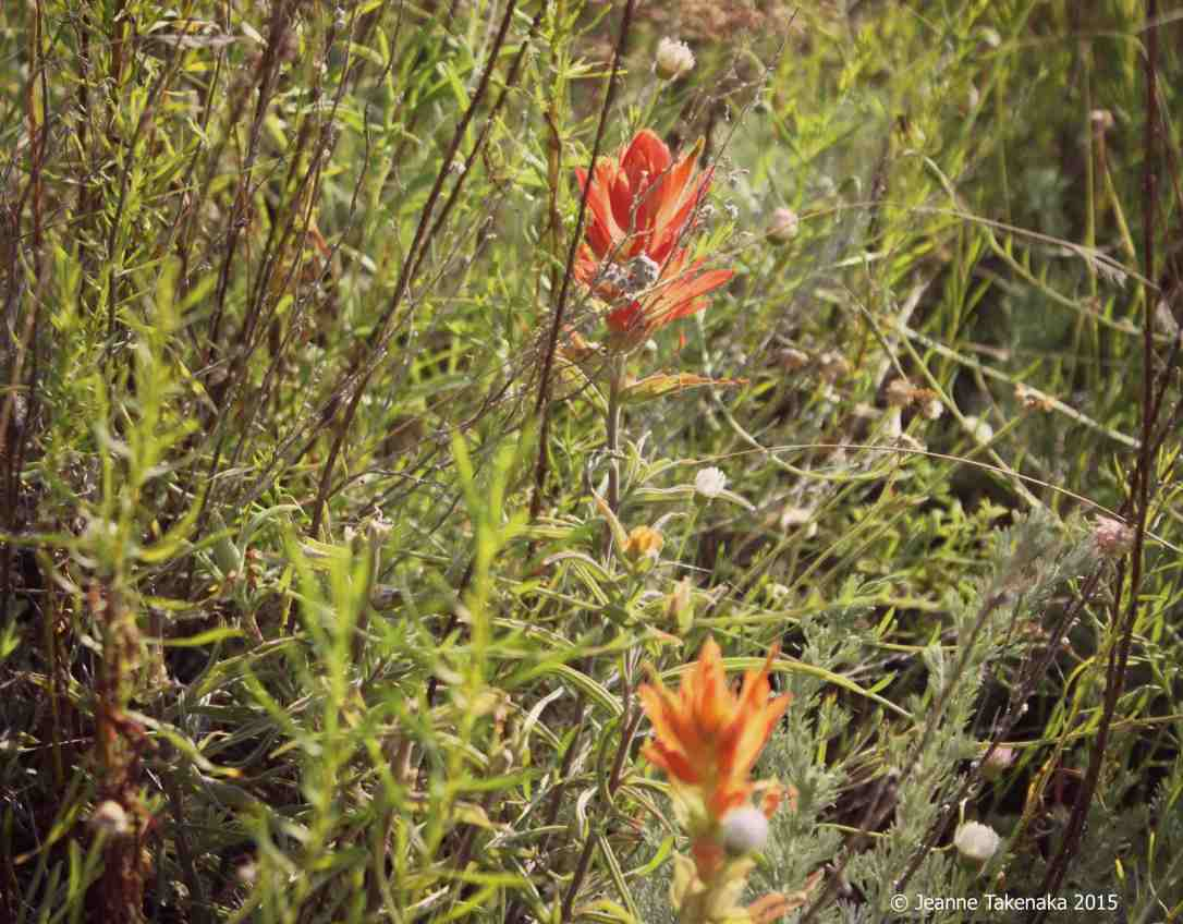 Indian paintbrush copy