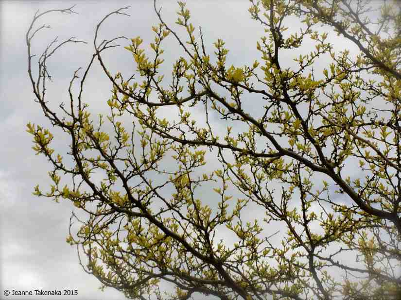 Late budding tree