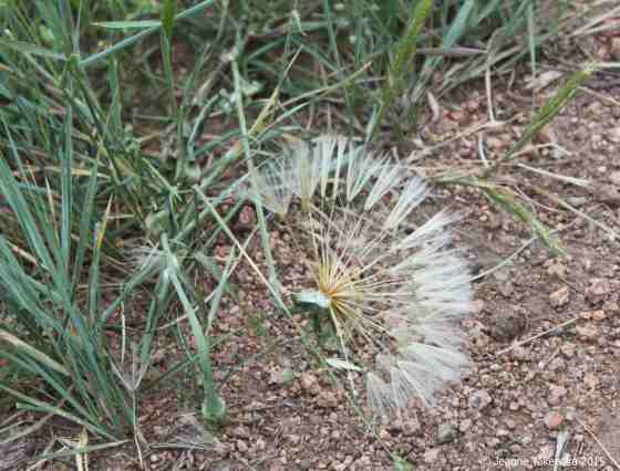 Quiet dandelion splayed