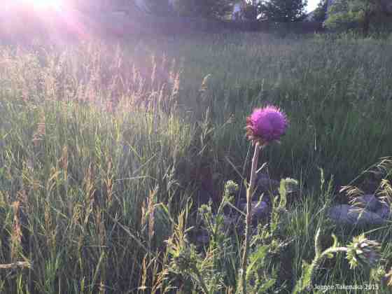 Thistle in evening