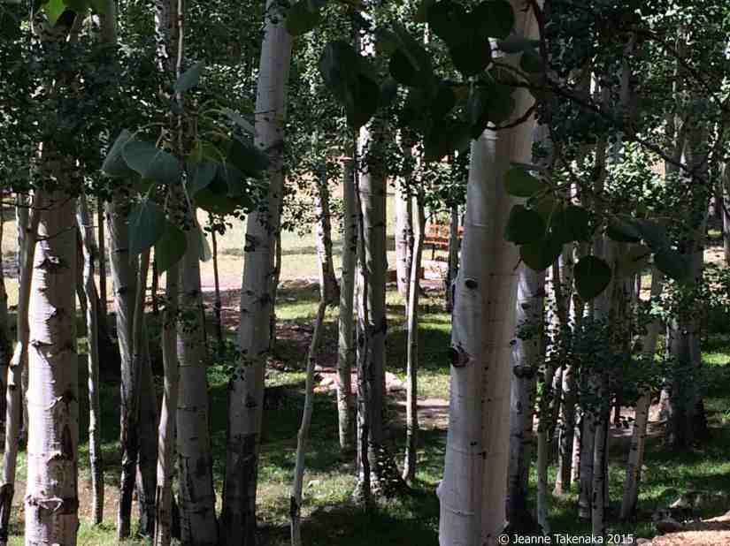 Forest of aspens