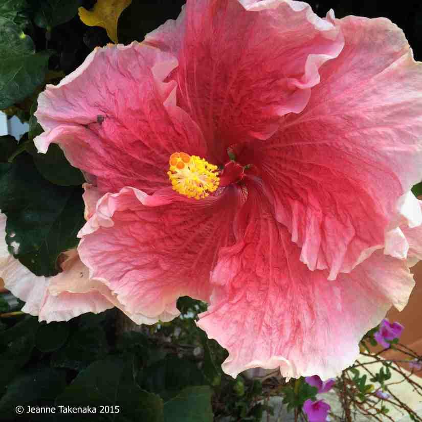 Summer gift hibiscus