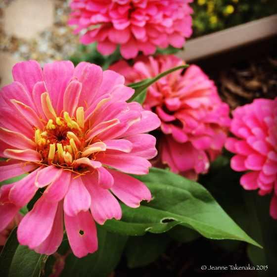 Summer gift pink zinnias