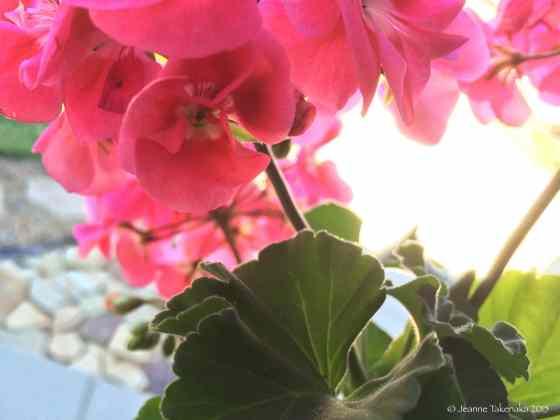 Unfurling geranium