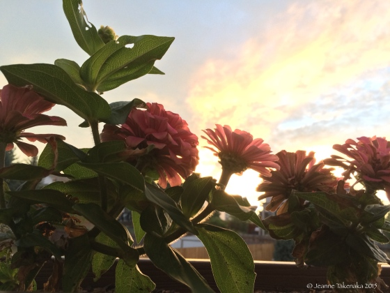 Zinnias at sunrise
