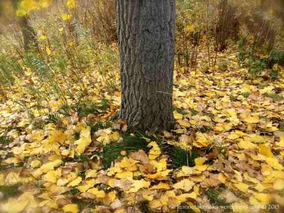 Yellow leaves fallen