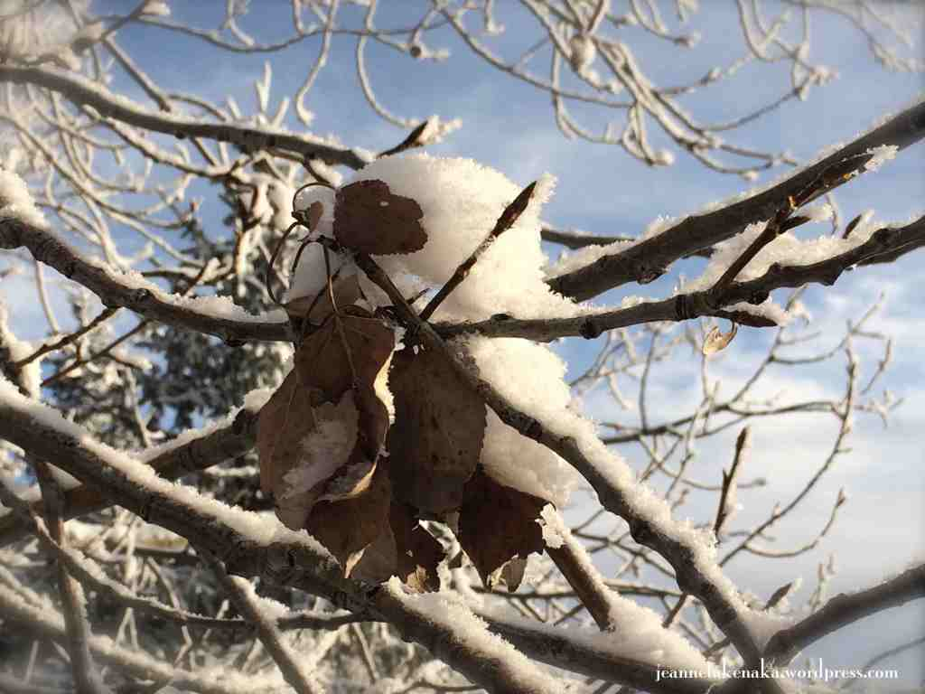 Snow collecting on leaf