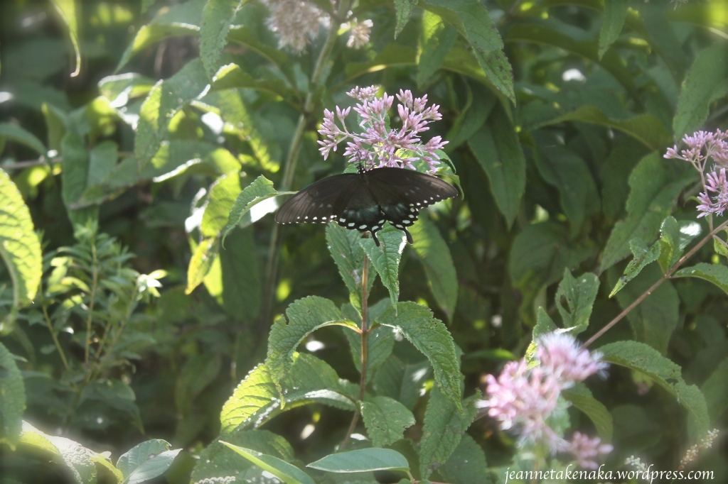 black-and-mint-butterfly