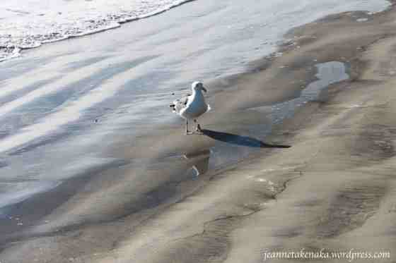 seagull-walking