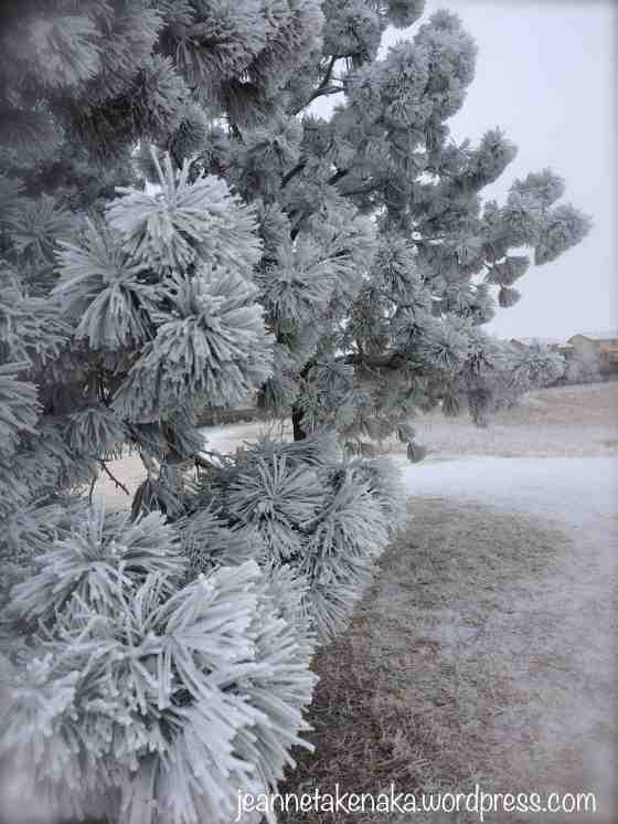frosty-pine-needles