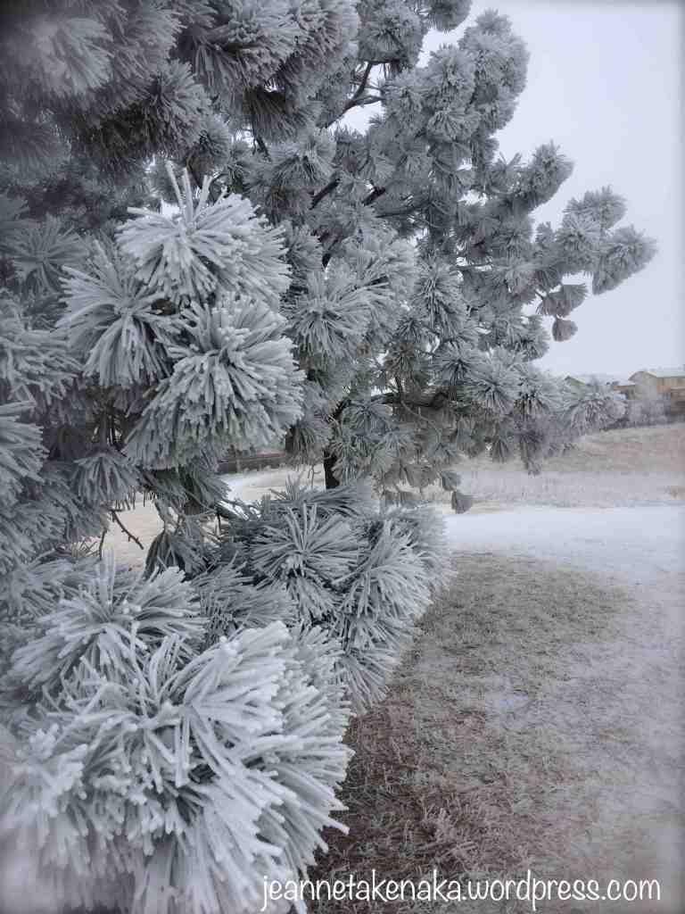 frosty-pine-needles