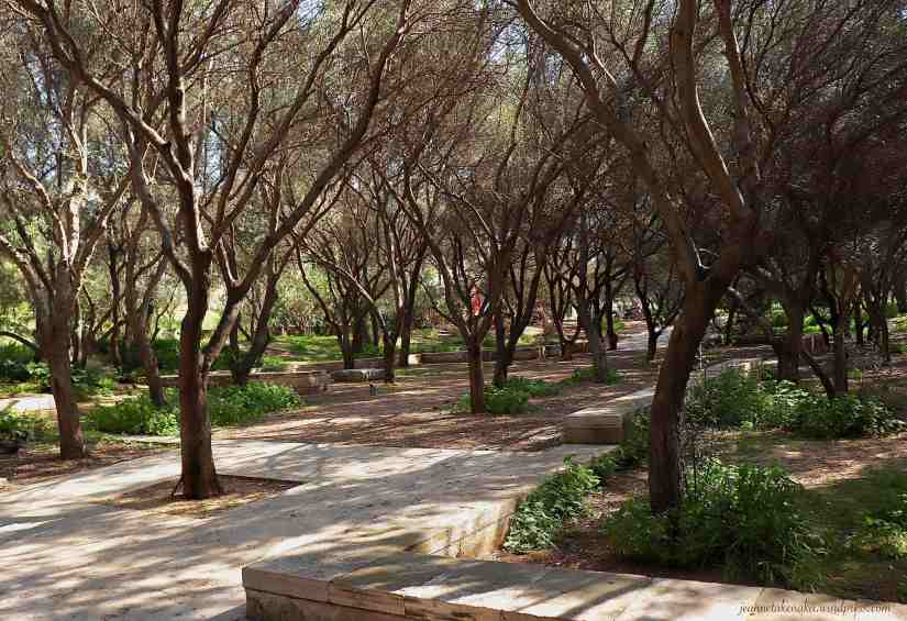 A path and olive trees growing in the middle of the path and walking area