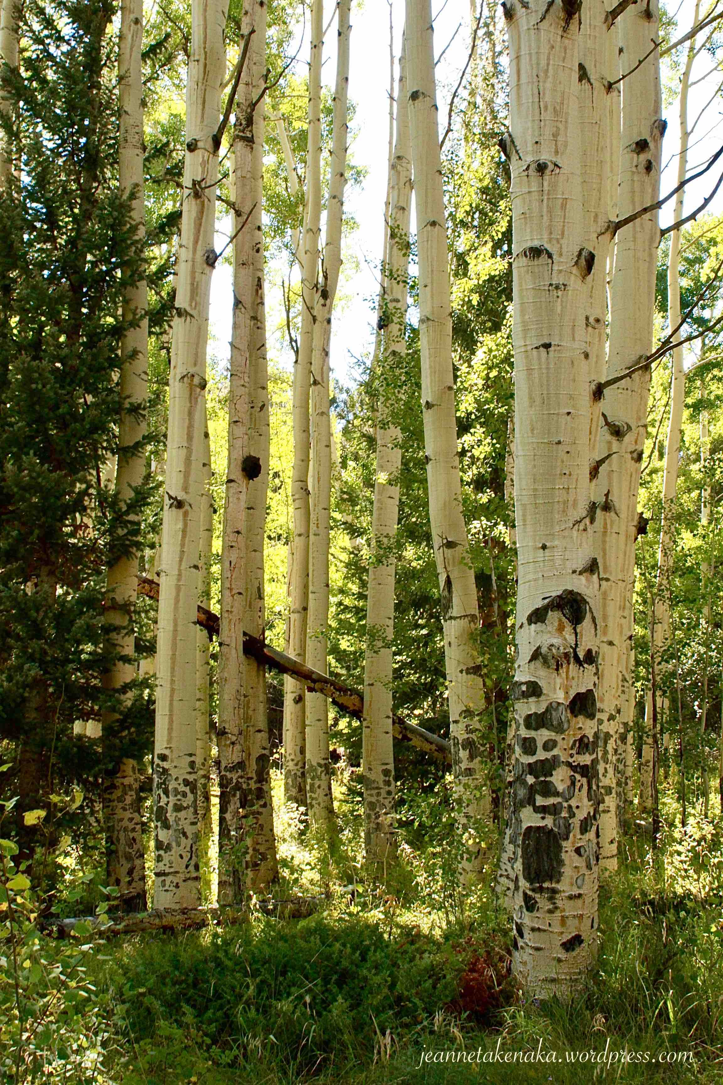 A grove of aspen trees in a forest