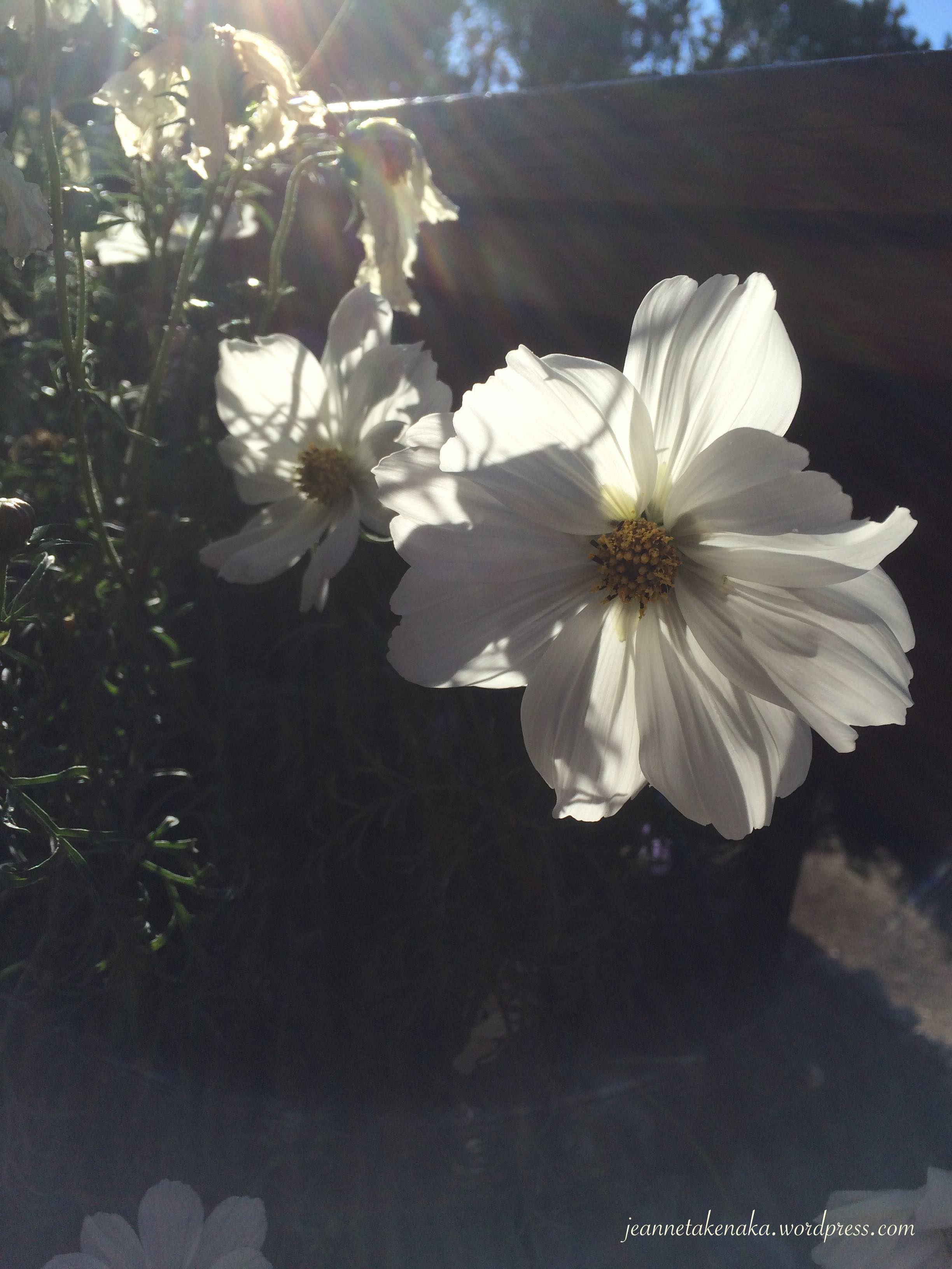White flowers with the sun shining behind them
