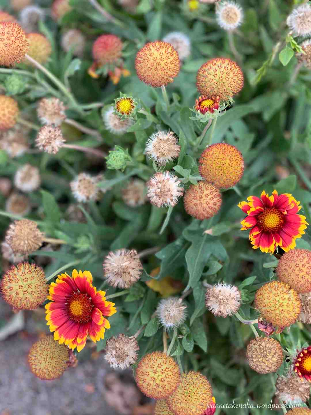 Fall-colored flowers on a bush where there are flowers in all phases of growing, from bud to dead