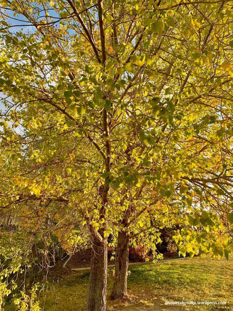 Two trees beginning to show autumn colors in the green and yellow leaves