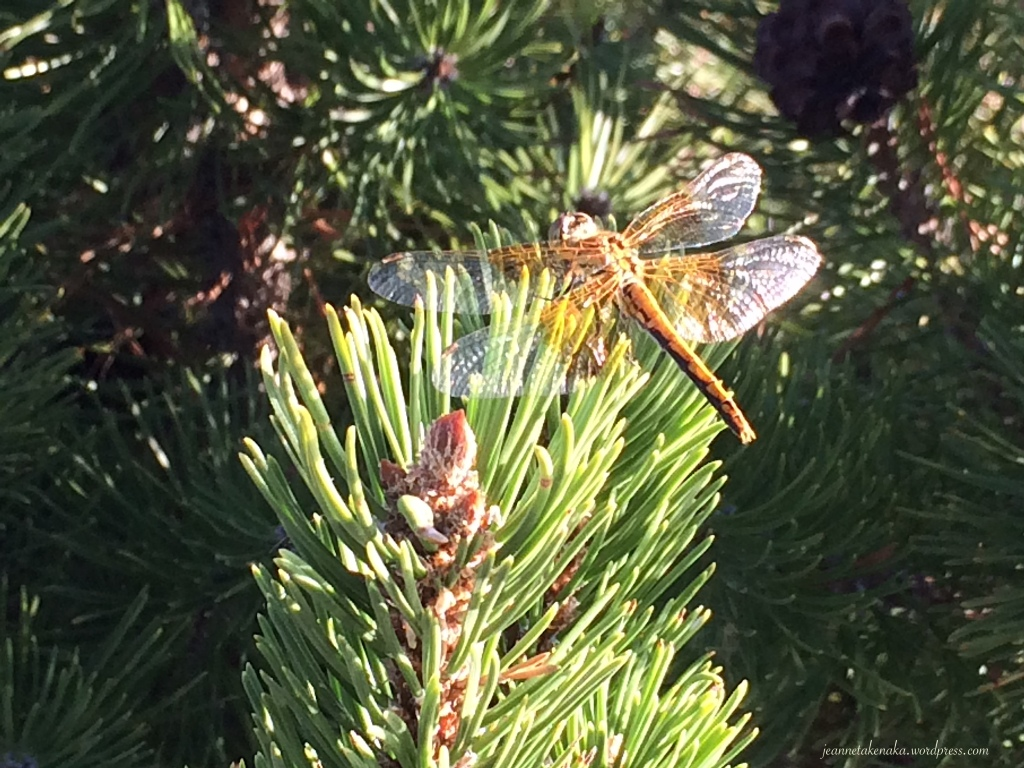 A photo of a dragonfly perched on a pine branch