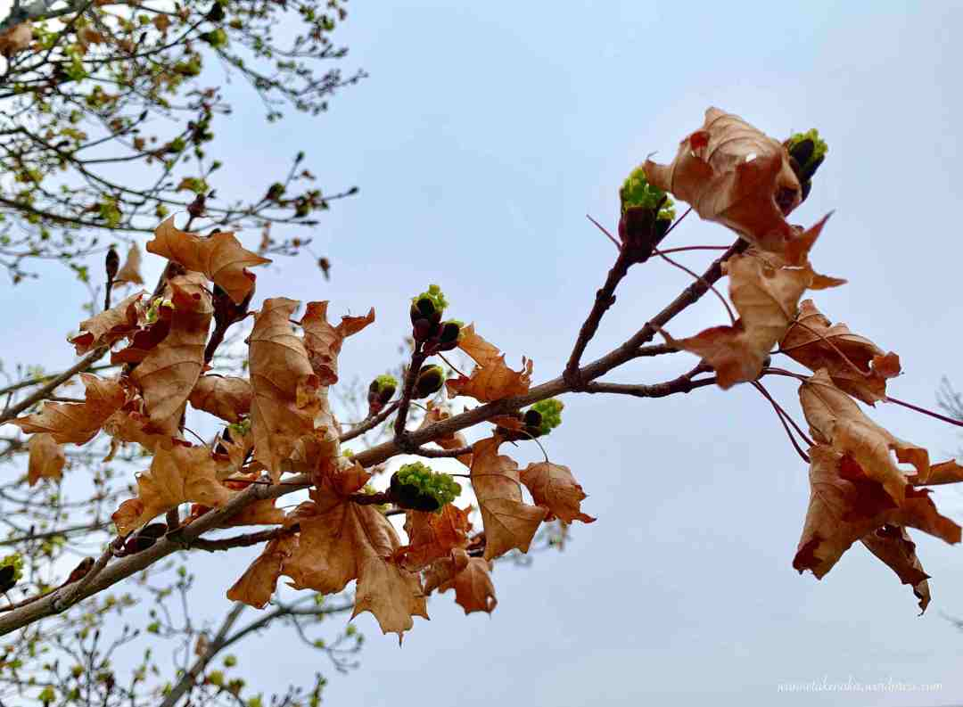 A close up of a tree branch with dead leaves growing amid new green buds