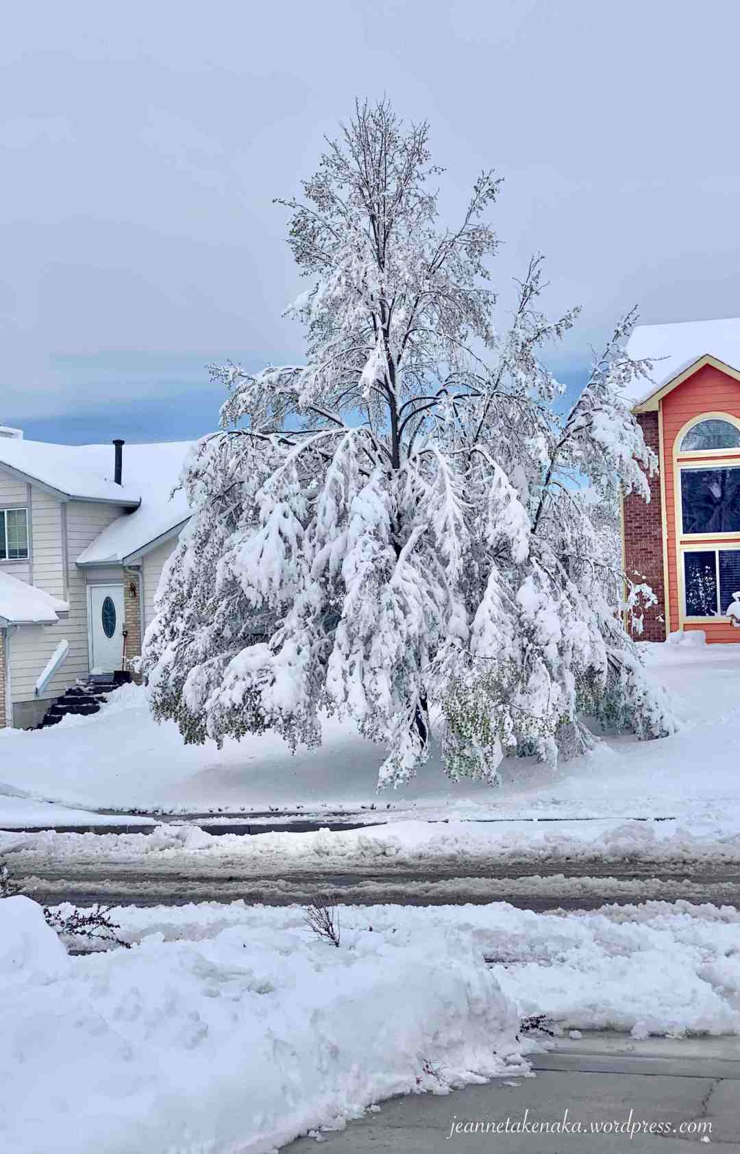 A large trees with branches drooping low due to heavy snow