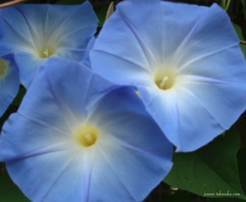 Blue morning glories—referenced in the post by the author