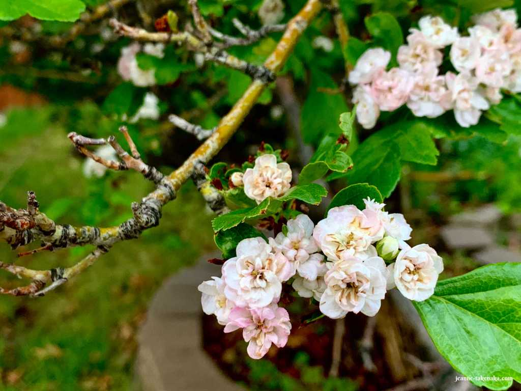 Picture of blossoms on a tree branch opened and pretty