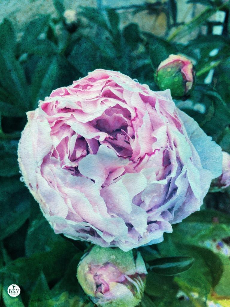 A peony flower in full bloom