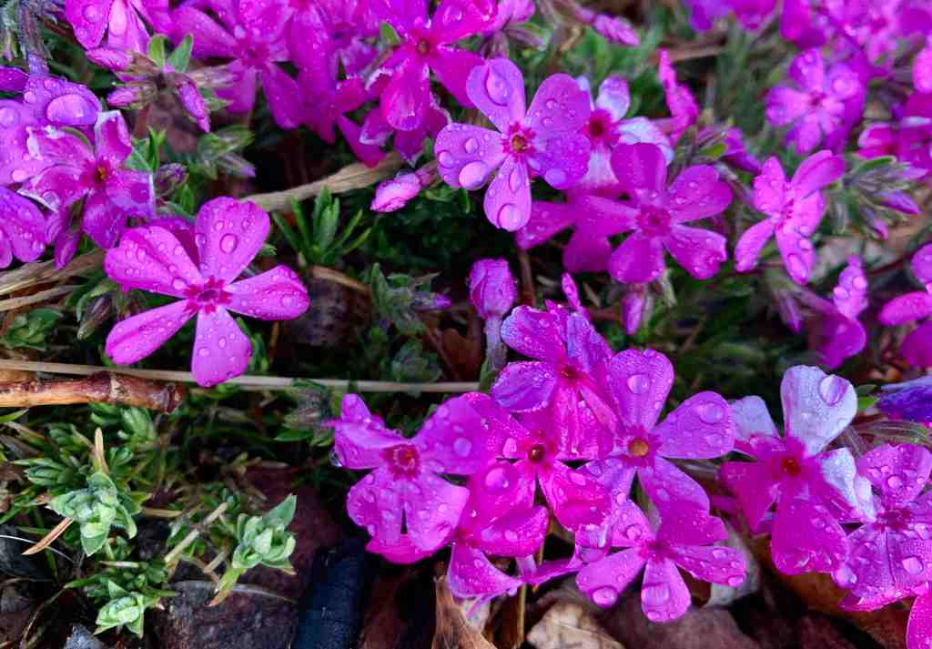 Pink flowers with rain drops on them, a reminder that there is beauty after storms