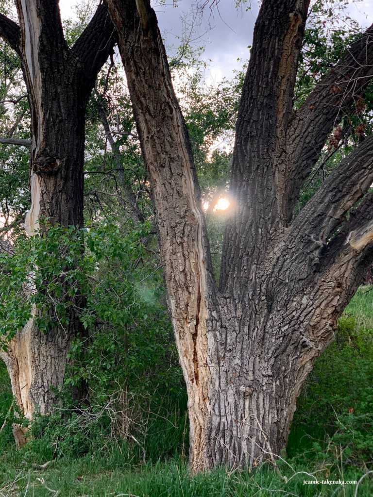 A tree with V-shaped branches and sunlight peeking through one V