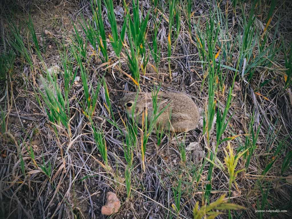 Summer- a baby bunny trying to hide in grasses