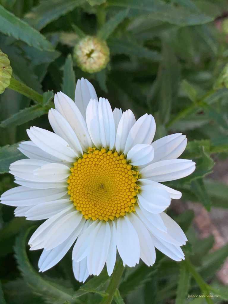 A close up of a summer daisy